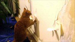 Как отучить кота рвать обои на стенах